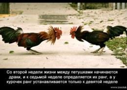 Кто вылупляется летом из яйца, снесенного семилетним черным петухом в день Кура и Курки на Руси?