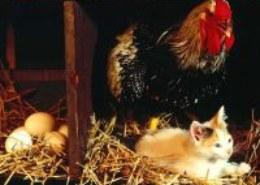 Как особым способом перемещали от стола к порогу запевшую петухом курицу?