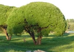 Как называются деревья похожие на брокколи?