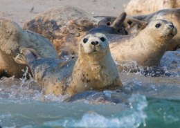 Морские котики — тюлени Ларга, где живут, почему их зовут «Ларга»?